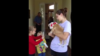 Bulldog Puppy Surprise for Christmas