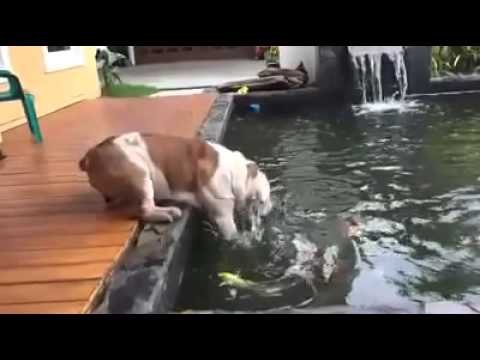 Channel Dogs Cats   bulldog rescue dog from drowning goldfish