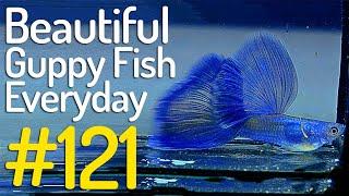Download lagu Guppy Channel - Beautiful Guppy Fish Everyday #121