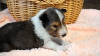 2013年3月生まれのシェットランドシープドッグです。 襟巻き太めのフル...