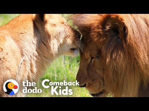 Rescued Circus Lions Touch Grass For The First Time   The Dodo Comeback Kids
