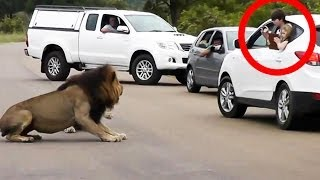 Repeat youtube video Lion Shows Tourists Why You Must Stay Inside Your Car - Latest Wildlife Sightings