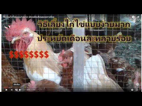 วิธีเลี้ยงไก่ไข่แบบง่ายมาก ประหยัดเดือนละหลายร้อย