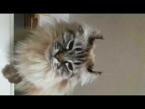 American curl cat   His name is Cheetan  アメリカンカール チータン