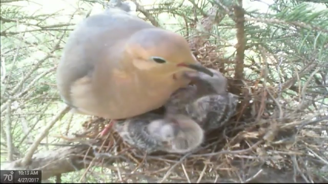 Mourning Dove Nest   April 27th Replay - YouTube