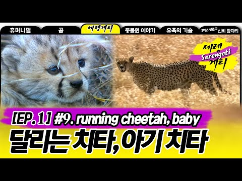 Cheetah - Wildlife in Serengeti EP01, #09, 치타