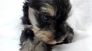 シュナウザー男の子です♪ 全国優良ブリーダーの子犬紹介サイト『みんな...
