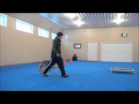 Hikari (Tamaskan) Boot Camp Dog Training Video