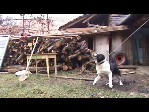 Turkmen Alabai guarding TEST 11 - Central Asian Shepherd Dog