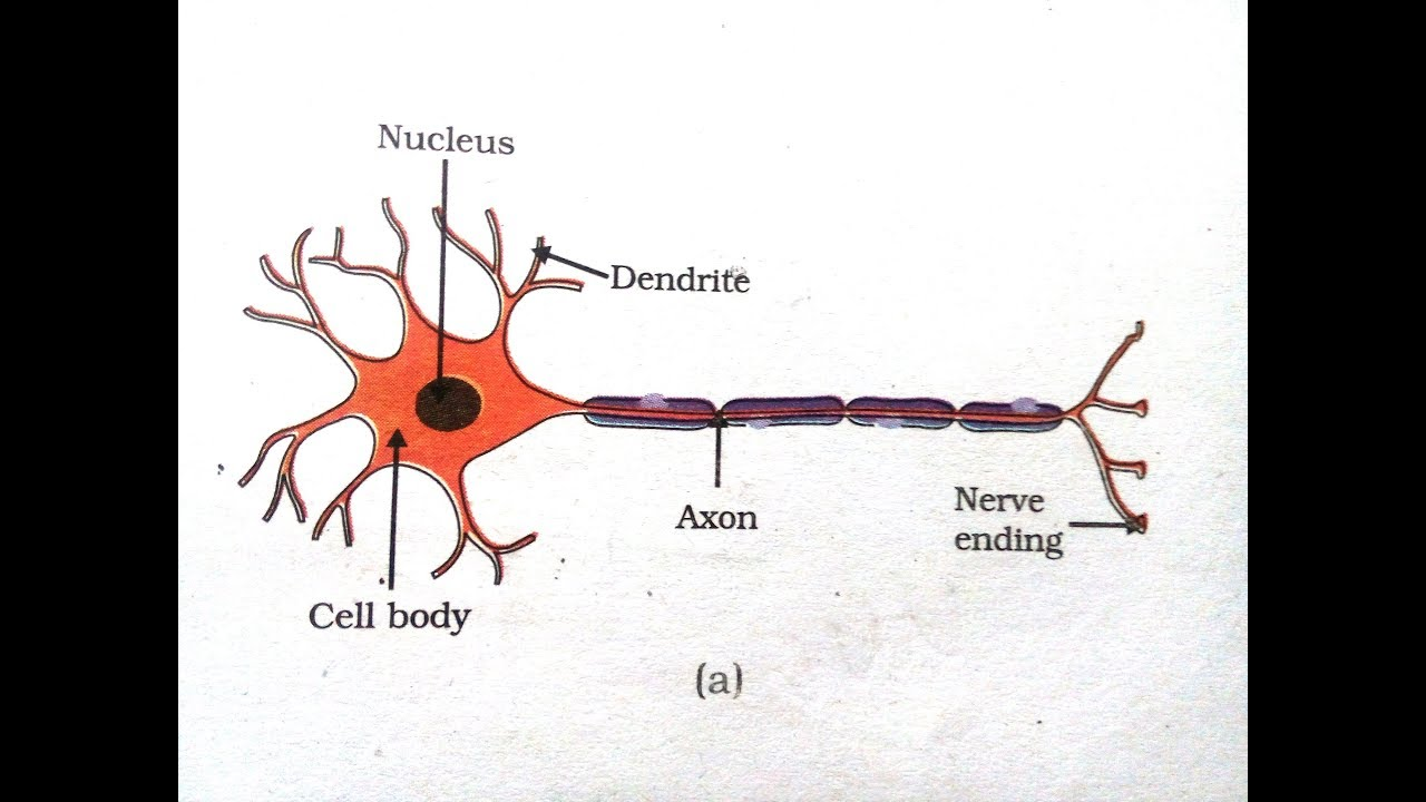 how to draw a motor neuron [ 1280 x 720 Pixel ]