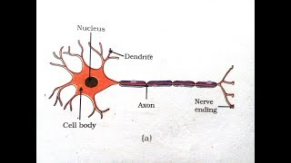 How to draw a Motor Neuron