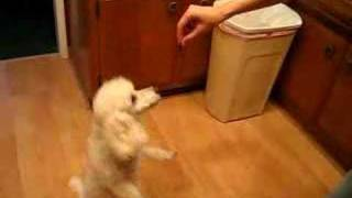 Waltzing Poodle- Will Dance For Food