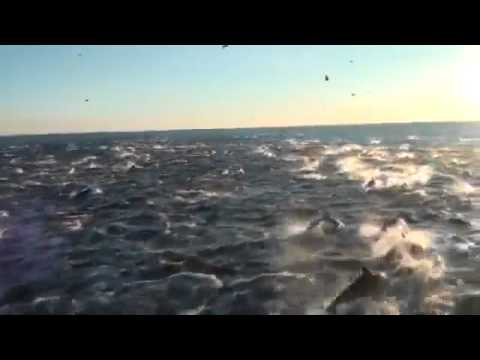 Amazing video , Over 2,000 Dolphins follow boat (must watch video)