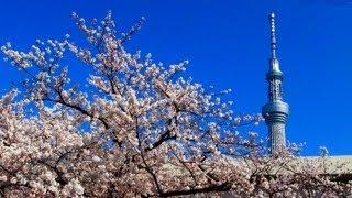隅田川 桜 スカイツリー ライトアップ 2012 隅田公園 桜祭り 夜桜 Tokyo...