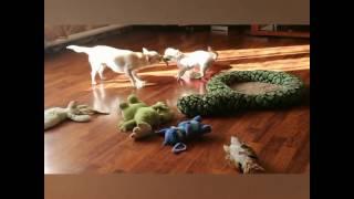 Смешные собаки чихуахуа