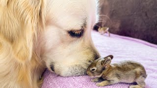 Golden Retriever and Baby Bunnies 10 days old [All 4 Bunnies Open Their Eyes]