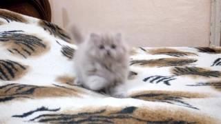 Смешной котенок Чубака! (продажа)