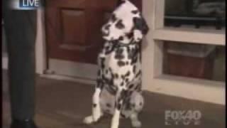 Fox Tv News Interviews Dr. Danika L. Bannasch About The Genetic Mutation In Dalmatians