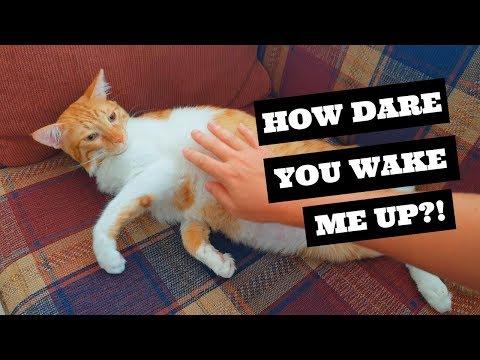 Cat belly rub | A trap?