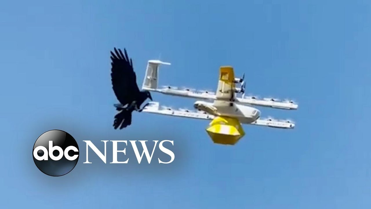 Download Raven attacks drone delivering coffee   ABC News