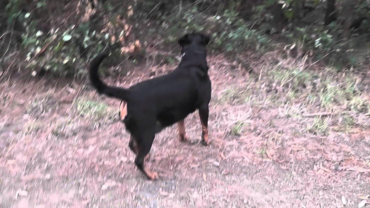 Download Rottweiler 7 Weeks Pregnant  3gp  mp4  mp3  flv