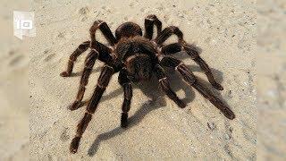 10 Arañas más grandes del mundo