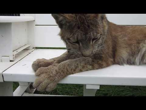 Max Canada Lynx & a Lazy Sunday