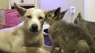 Patagonian Maras Groom Rescued Dog To Sleep thumbnail