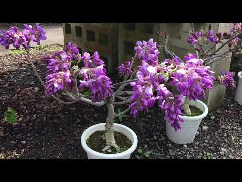 All About Wisteria