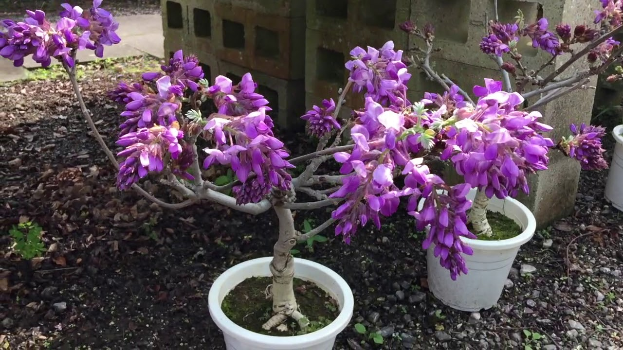 All About Wisteria Youtube