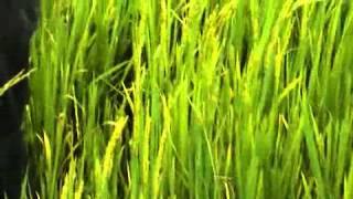 Omor Rice 1; I J  Ekwunife's Rice Farm Omor July 2014iphone