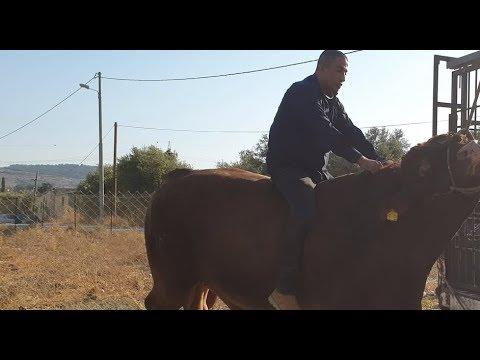 شاهد مغامر فلسطينى يركب على ظهر ثور ضخم شاهد ماذا حدث له !