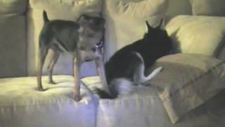 Klee Kai And Min Pin Playing