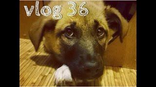 Vlog #36 У собаки цистит =(