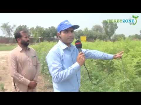 Moringa Fodder cultivation Model Farming in BRI Pattoki by H
