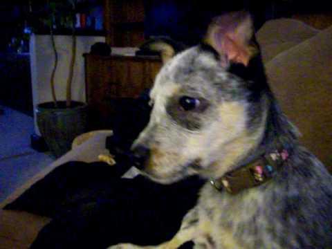 Blue Heeler Puppy Howling