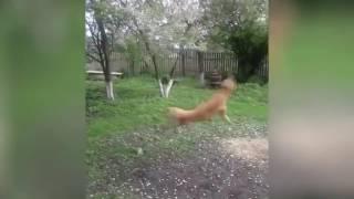 Собака   вертолет   Dog helicopter(приколы, подборка приколов, прикол, неделя, веселое видео, ржач, смешное, смешно, новое, new, fail, fails, funny, compilation,..., 2016-08-11T21:03:06.000Z)