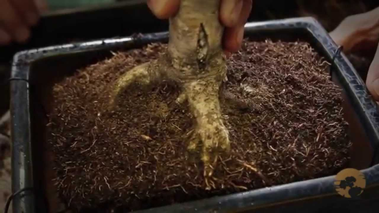 Plants Repot Bonsai Instructions In 7 Steps 2021