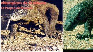 Le varan de Komodo - Le Dragon de Komodo