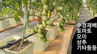 해외일상, 파라과이 일상. 수경재배로 상추 토마토 등 …