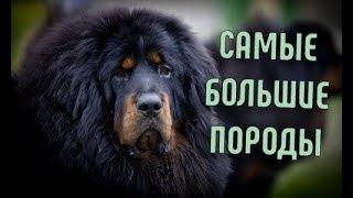 Самые большие породы собак | Помощь в выборе щенка