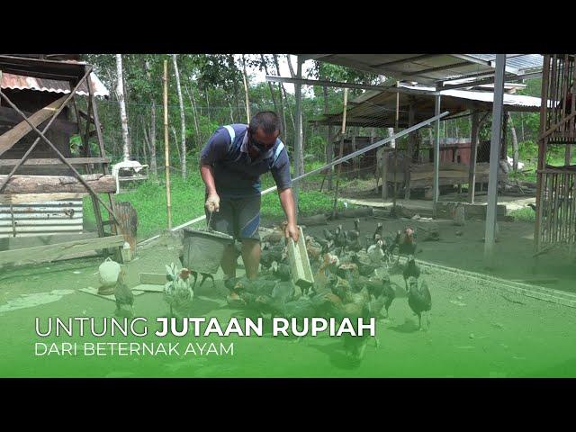 Habar Tani - Raup Untung dari Ternak Ayam Kampung