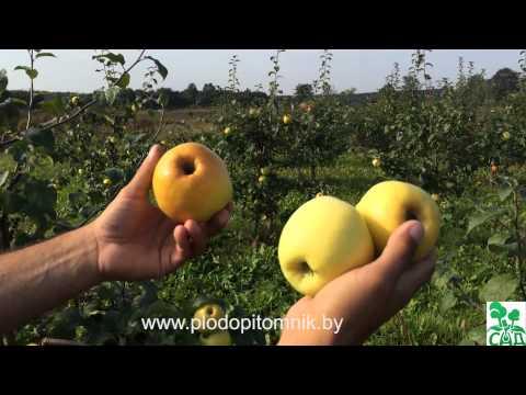 Зимние сорта яблок фото и описание Сайт о саде, даче и