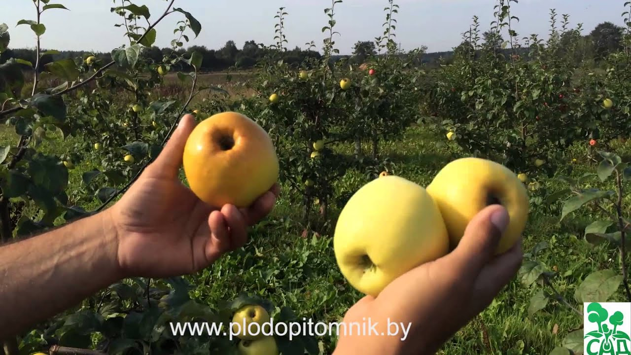 В корзине 16 яблок, среди них три яблока сорта «антоновка». Яблоки .