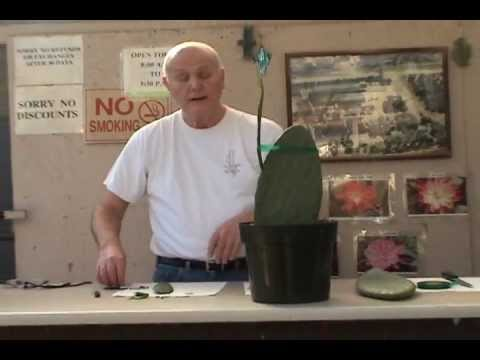 Grafting Epiphyllum to Opuntia.wmv