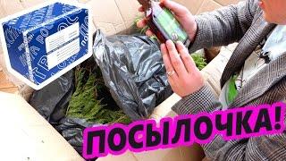 Живая посылка от Подписчика | Алтайский Кедр | Наши всходы