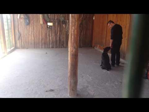 Maximus 7 months cane corso at training
