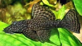 видео Анциструс обыкновенный (Ancistrus dolichopterus)