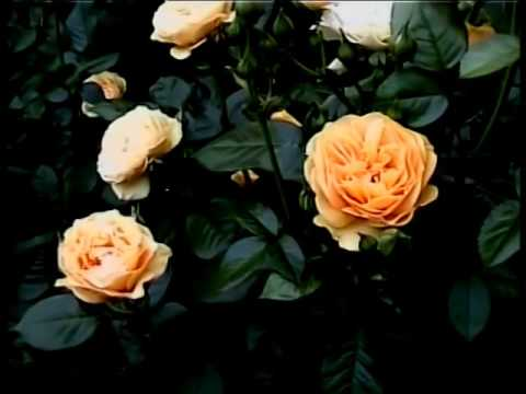 Flowers - Rose Garden, Portland, Oregon