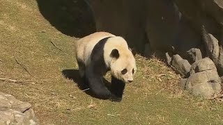 Thousands Attend Panda Cub's Farewell From The Smithsonian National Zoo